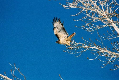 ...the big, beautiful red-tailed hawk had left his perch and begun to circle...