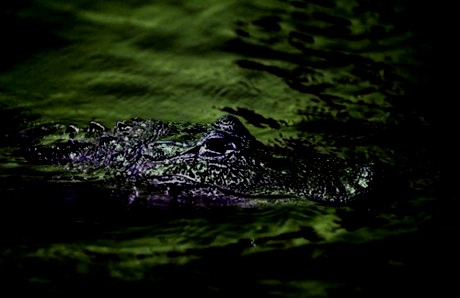 Just then another young alligator made its presence known…