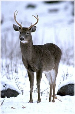 'Ah,' Dana slightly gasped, as she watched the youngest of the three white-tail deer begin to move in a little closer...
